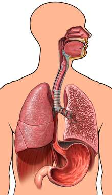 Male Torso with Respiratory System and Stomach, Anterior View