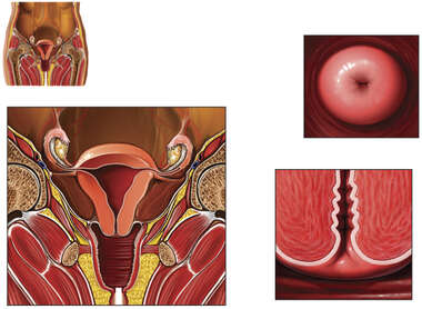 Anatomy of the Cervix
