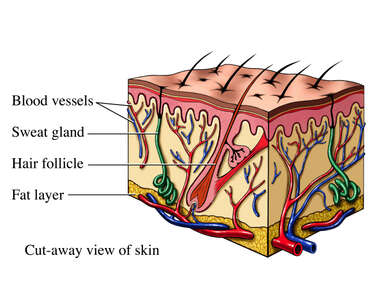 Skin Section
