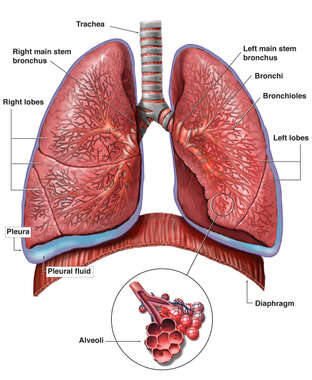 Anatomy of the Lungs