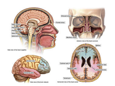Head Anatomy