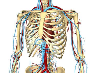 Thoracic and Abdominal Vasculature