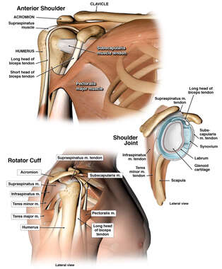 Normal Anatomy of the Shoulder