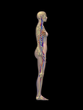 Lateral Female Figure with Skeletal and Cardiovascular Systems