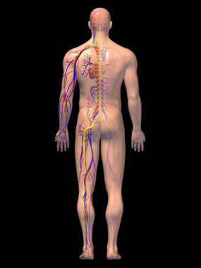 Anatomy of the Cardiovascular and Nervous Systems, 3D Posterior Male, BB