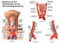 Anatomy of the Throid Gland and Surrounding Anatomy