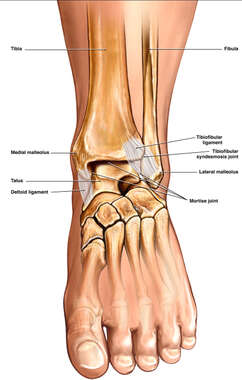 Anterior View of Normal Ankle Joints