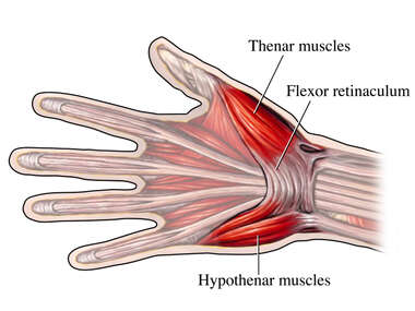 Muscles of the Hand and Wrist