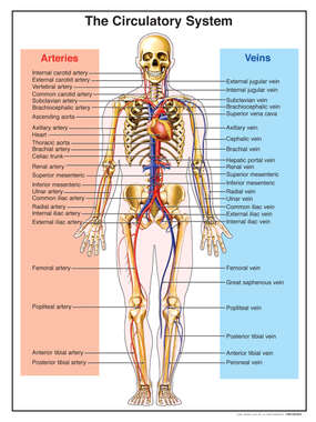 Anatomy of the Circulatory System