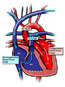 Simplified Heart Anatomy