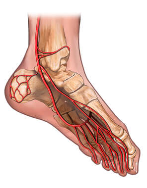 Arteries of the Foot ( Inferomedial view)