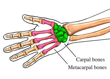 The Carpal and Metacarpal Bones