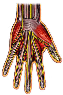 Muscles and Nerves of Hand