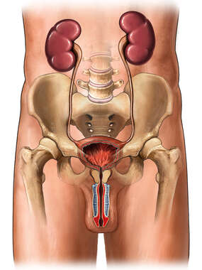 Male Genitourinary System