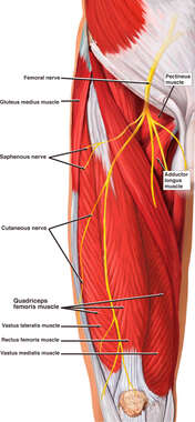 Anatomy of the Right Upper Leg