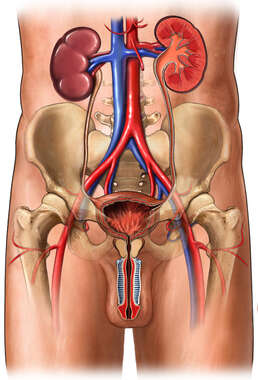 Male Genitourinary System with Cut-away View of Left Kidney and Ureter