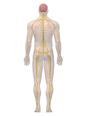 Anatomy of the Nervous System, 3D Posterior Male