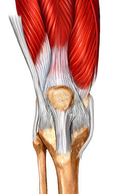 Anterior Knee with associated ligaments, tendons and musculature.
