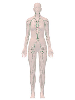 Anterior Female Lymphatic System