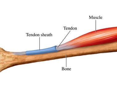 Healthy Tendon Sheath