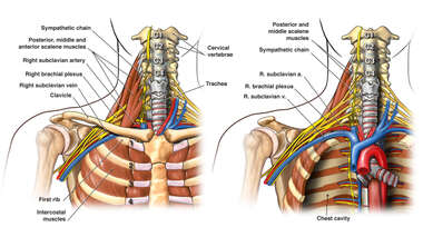 Anatomy of the Upper Chest Cavity