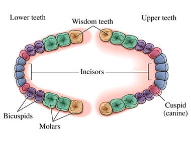 Wisdom Teeth (Third Molars)