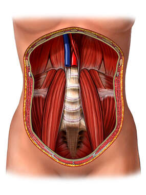Posterior Abdominal Wall with Psoas Muscles ,Anterior View