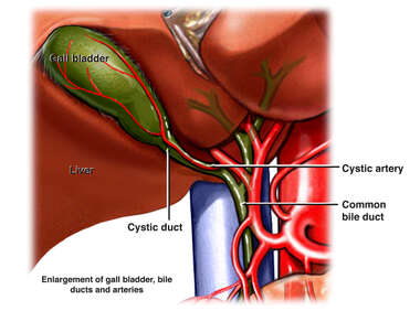 Anatomy of the Gallbladder