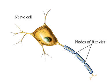 Nodes of Ranvier