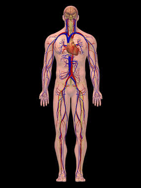 Male Circulatory and Nervous System