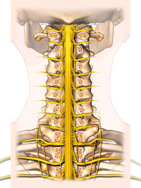 Posterior Cervical Spine Cut-away Nerves