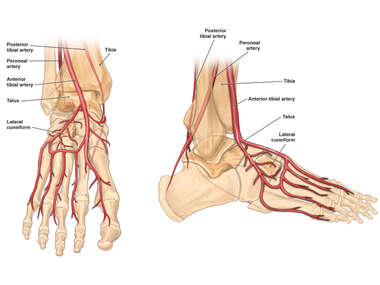 Blood Supply to the Tibia, Talus, and Lateral Cuneiform