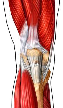 Musculature of the Knee: Anterior View