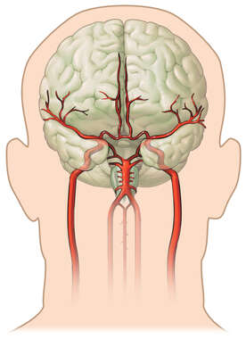 Anatomy of the Cerebral Vasculature