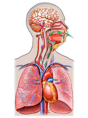 Oxygenation and Circulation to the Brain, Anterior Male