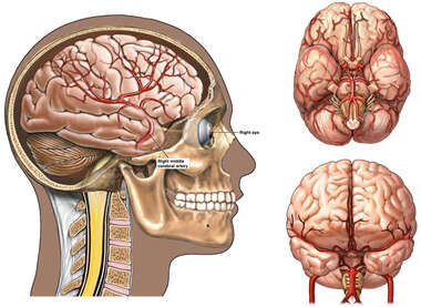 Vasculature of the Brain