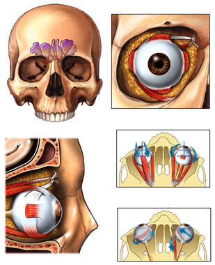 Anatomy and Movement of the Eye