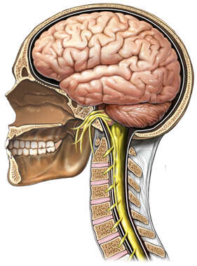 Anatomy of the Brain and Cranial Nerves