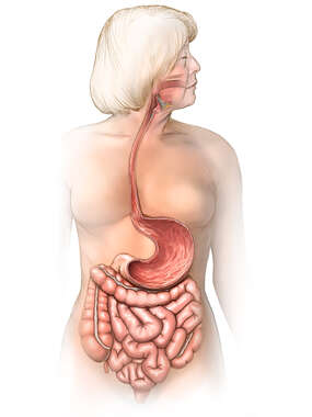 Gastrointestinal Tract with Female Figure