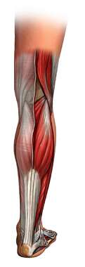 Muscles of Lower Leg: posterior view