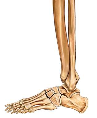 Search Foot And Ankle Bones Lateral View