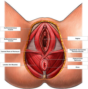 Female Genitalia, Dissected View