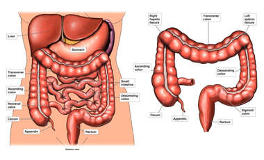 Large Intestine and Left Splenic Flexure