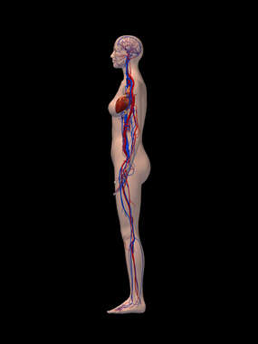 Cardiovascular System - Left Lateral View