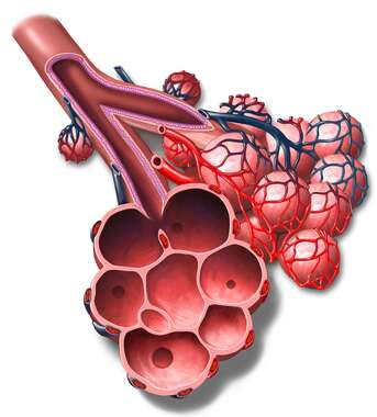 Bronchioles and Alveoli
