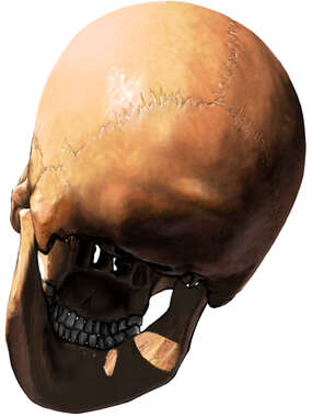Adult Skull, Inferior/Posterior View