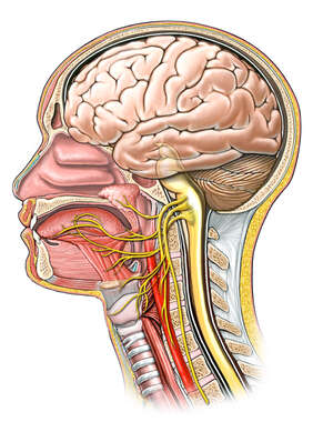 Innervation (Nerve Supply) of the Tongue