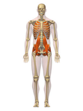 Anatomy of the Deep Muscular System, 3D Anterior Male