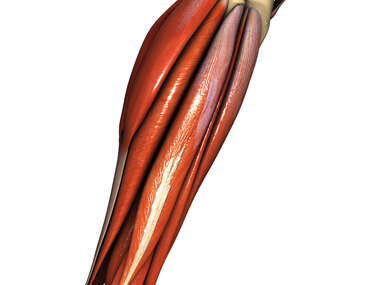 Lateral Calf Muscles