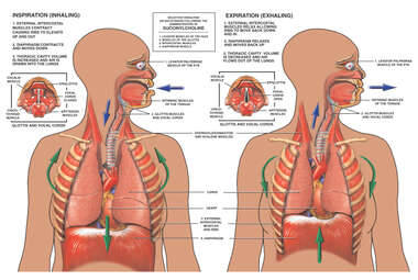 Respiration - Muscular Control of Breathing